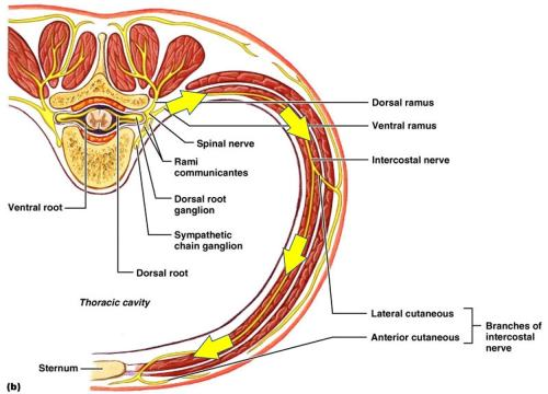 small resolution of thoracic spinal nerve causing stomach pain