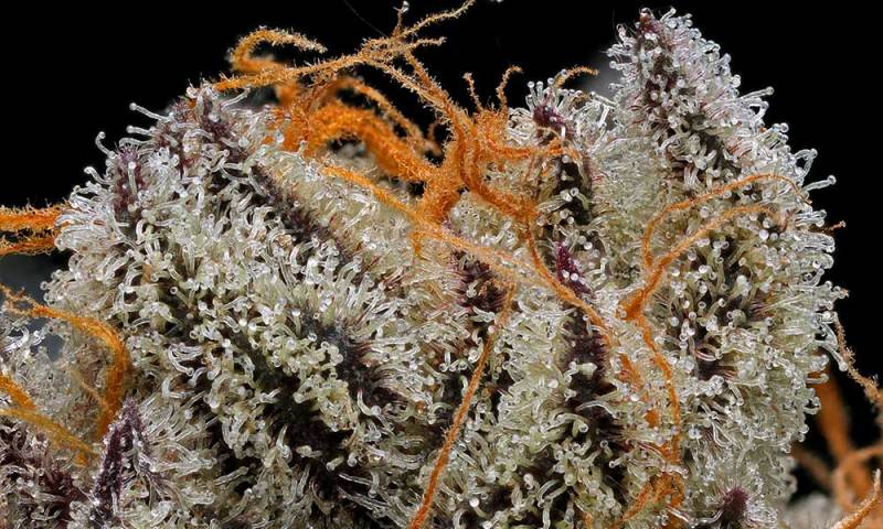 The 8 Best Strains For Making Rick Simpson Oil