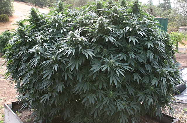 Nico's Nuggets Best Outdoor Harvest Strains Of 2015