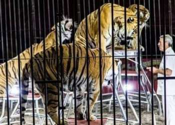 Ettore Weber training tigers in an undated file image photo: LA REPUBBLICA