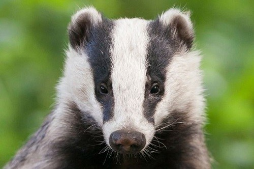 Badgers can become a nuisance if they take up residence on your property.