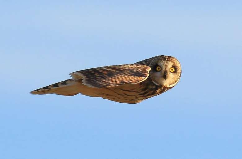 Коса сова в польоті