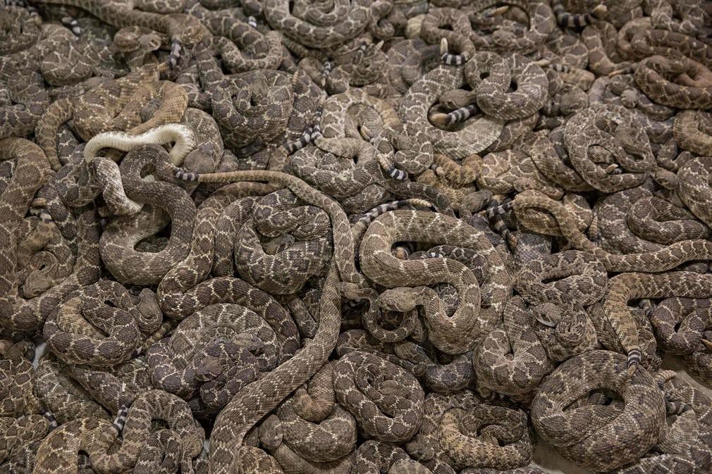 Гримучі змії