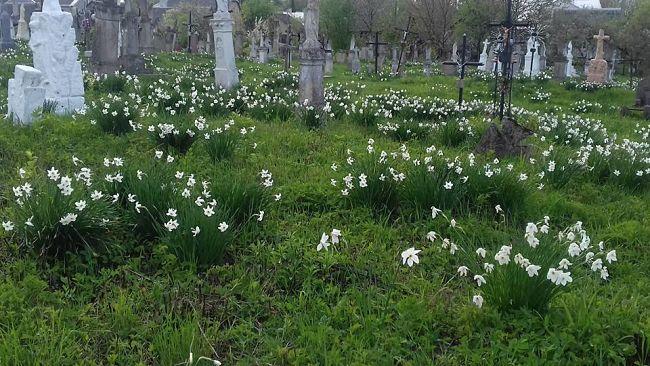 Нарциси на цвинтарі