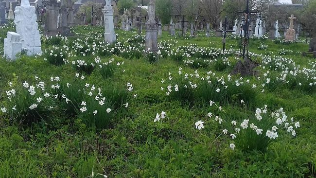 Нарциси на цвинтарі у селищі Олесько (Львівщина).