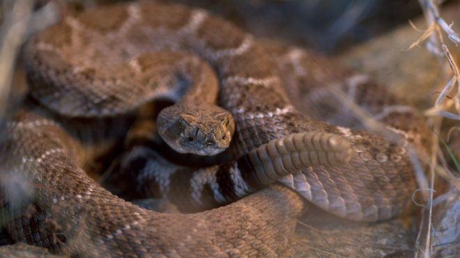 Фото гримучої змії