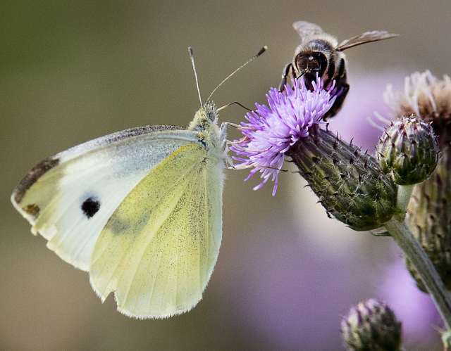 Метелик і бджола.