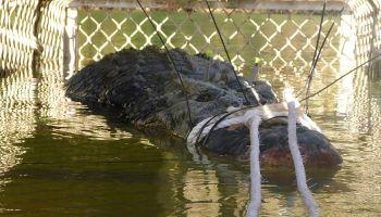 """Міг """"пообідати"""" туристом: В Австралії спіймали крокодила-гіганта"""