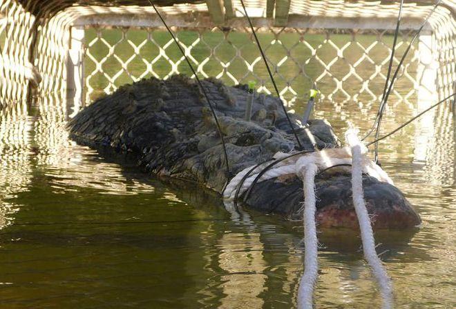 В Австралії зловили крокодила-гіганта