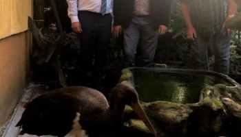 Врятований чорний лелека