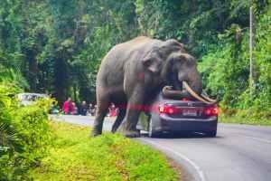 Дикий слон зупинив машину в національному парку Хао Яй