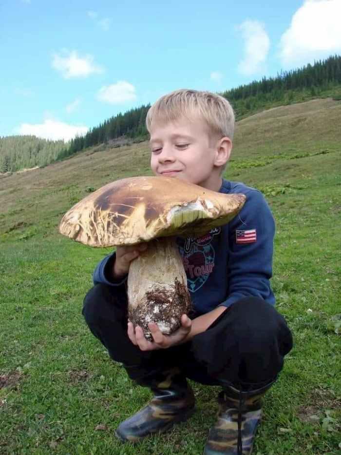 гриб-велетень, Закарпаття