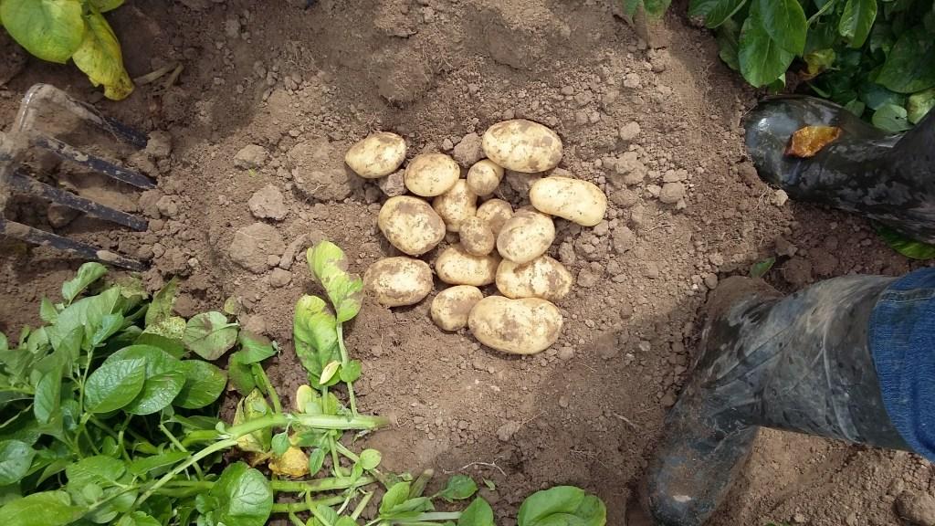 Export aardappelen 3 Point Potatoes