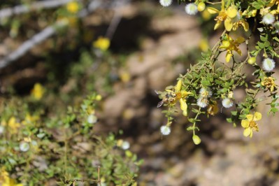 Bee on Creosote Bush