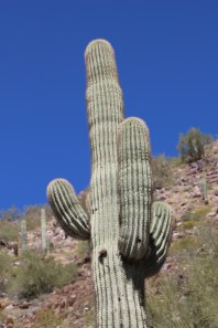 Saguaro with arms