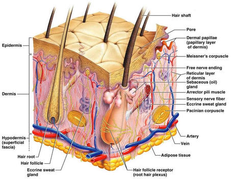 integumentary system diagram labeled 2006 ford e350 ignition wiring human body systemsryan schindler this is the skin structure for its with every part there are many parts to and you