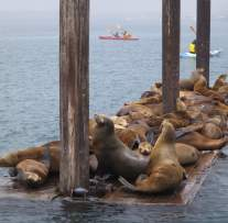 Morro Bay sea lions