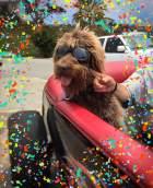 rufus the rockstar dog