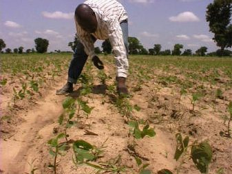 Farmer-in-Northern-Nigeria-who-is-experimenting-with-planting-soybean-on-either-side-of