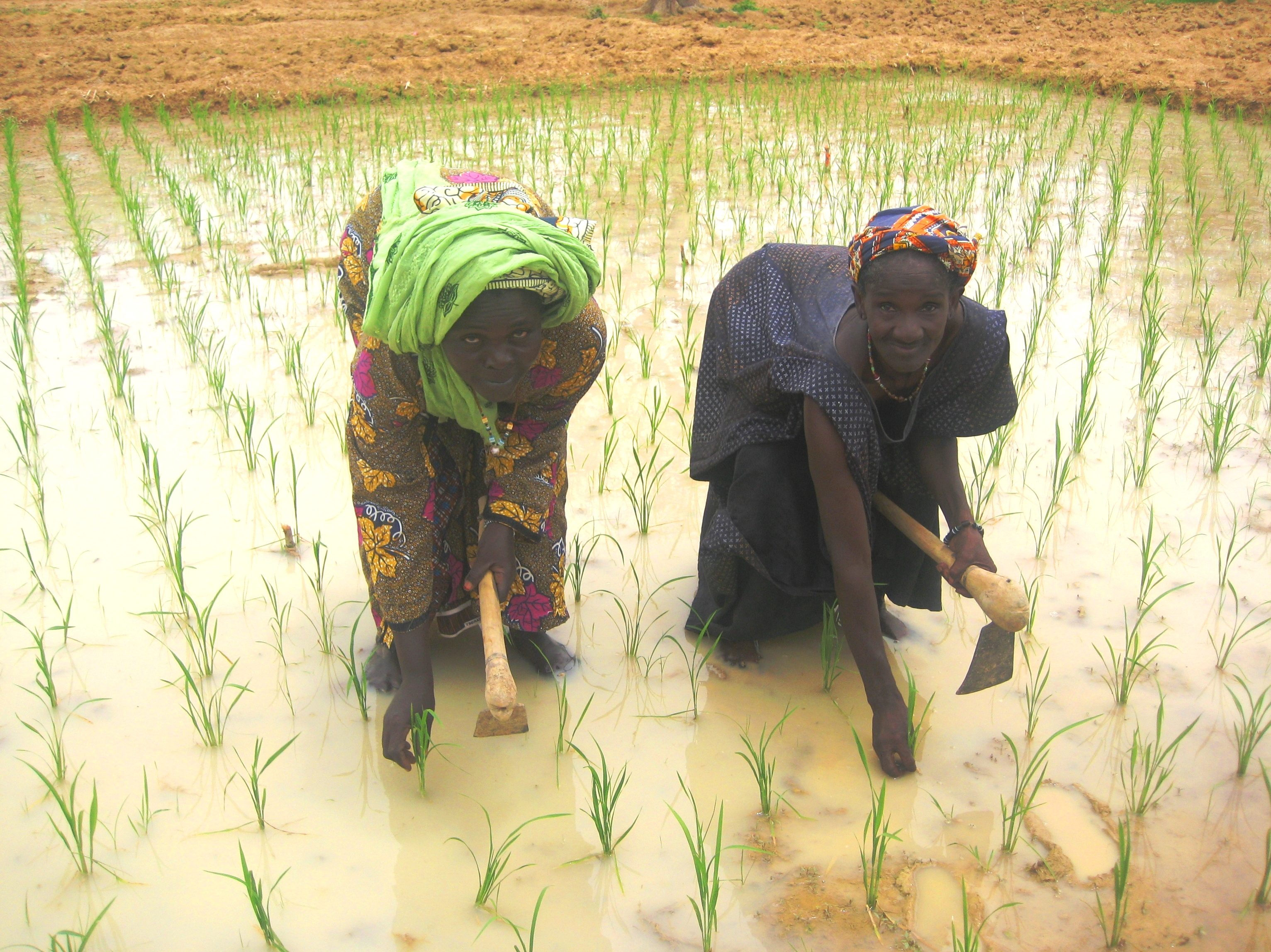 Mali – Agriculture & Food Security-Feed the Future - women planting rice