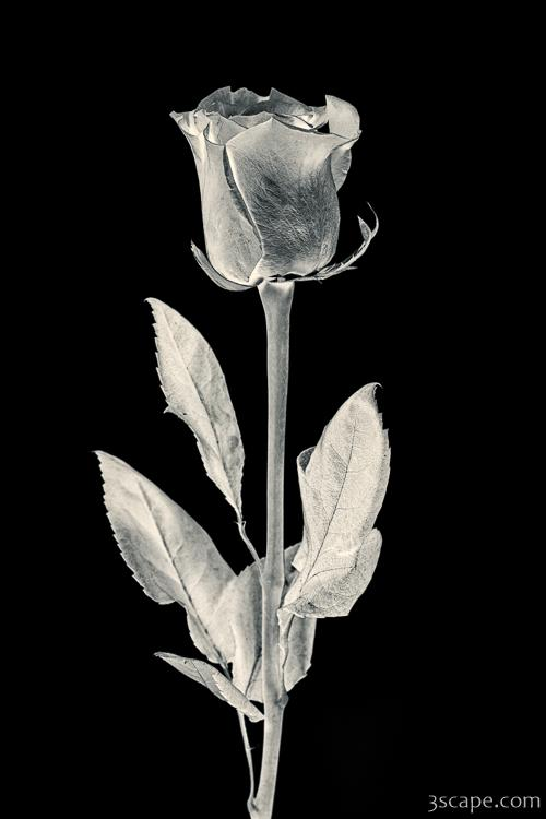 Silver Rose Photograph  Landscape  Travel Photography