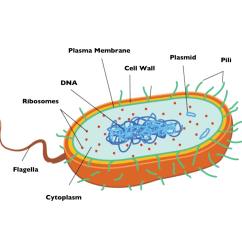 Prokaryotic Cell Diagram 13 Pin Trailer Plug Wiring Uk Bacteria Grade 11 Biology Study Guide