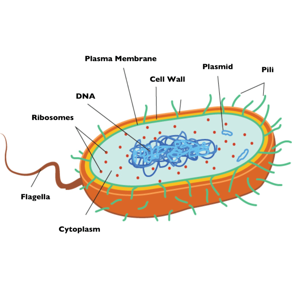 bacterial cell diagram and functions porsche 911 wiring bacteria grade 11 biology study guide