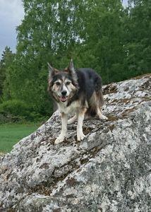Att aktivera en gammal hund.