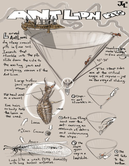 small resolution of naturalist s notebook how an ant lion pit works