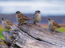 Sparrows losing their dialects with increase in urban ...
