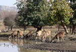 Sambhar deer at the watering hole a.k.a. their usual hangout after a tough day of nibbling grass