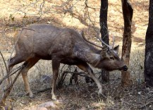 A male Sambhar deer trying to make a stealthy exit (to no avail)