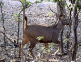 A Sambhar deer on high alert (notice the tail standing up in fear)