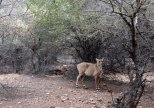 A young Nilgai (another type of deer)