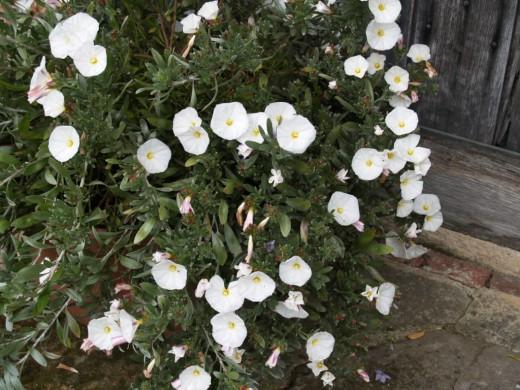 Вьюнок декоративный. Вьюнок садовый: выращивание и уход
