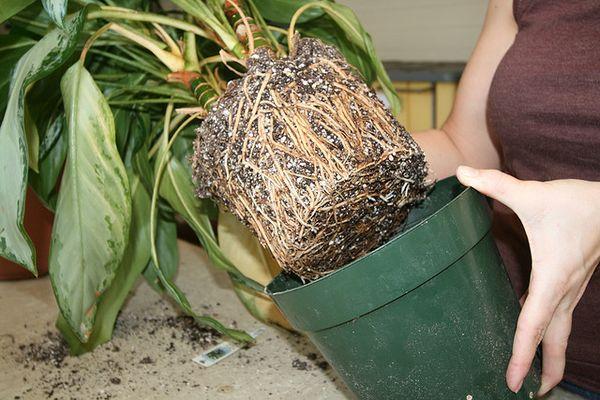 При гниении корней их обрезают и пересаживают цветок