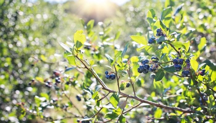 Почему ягода голубика входит в рейтинг самых полезных ягод
