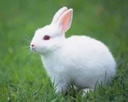 male rabbit manohar farms