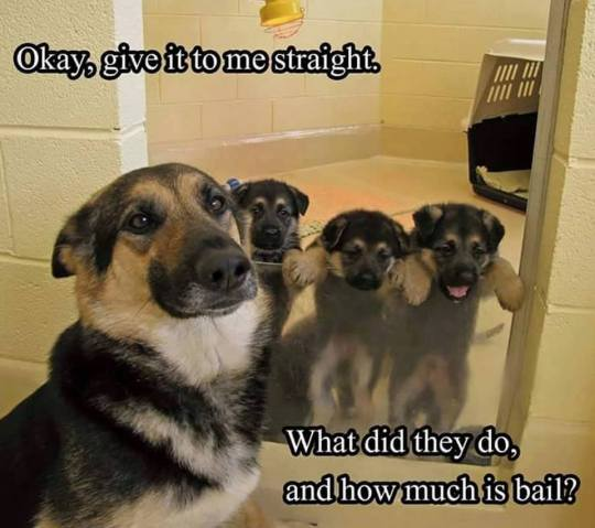 An adult dog is sitting in front of 3 pinned in puppies. It has a funny caption on it.
