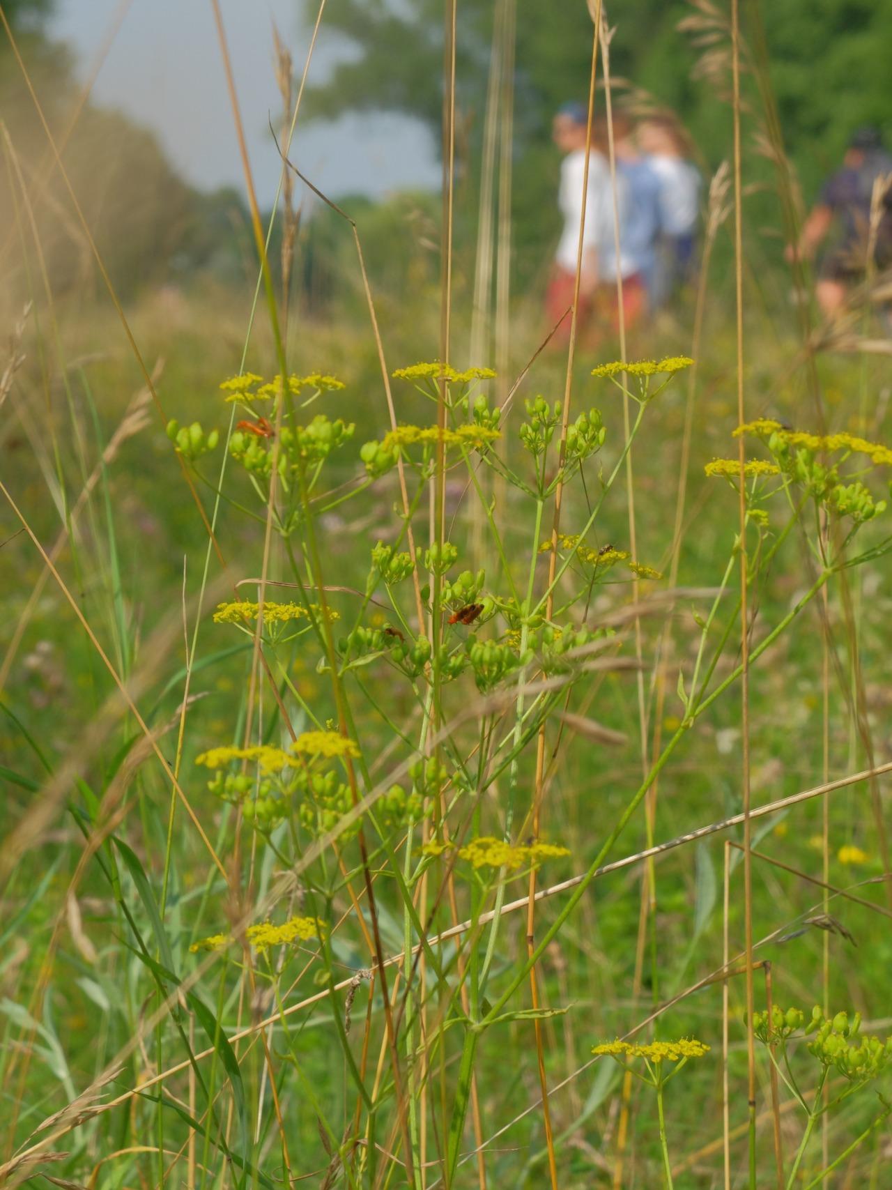 mangia minga // 'Wildkräuter: Foraging Wild Herbs' Wilde Pastinake und Wilde Möhre - wild parsnip and wild carrot