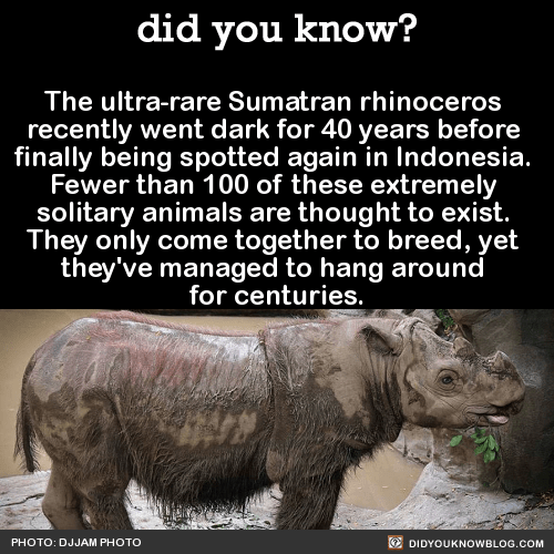 The ultra-rare Sumatran rhinoceros  recently went dark for 40 years before  finally being spotted again in Indonesia.  Fewer than 100 of these extremely  solitary animals are thought to exist.  They only come together to breed, yet  they've managed to hang around  for centuries.  Source Source 2