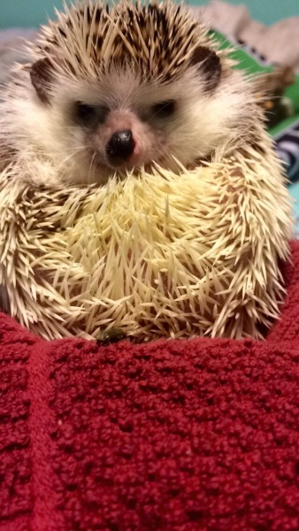 A small hedghog stares grumpily at the camera.