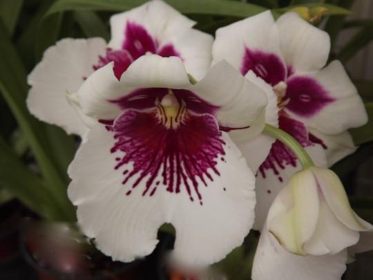 http://myorchidsjournal.blogspot.com.au/2012/11/my-miltoniopsis-orchids.html