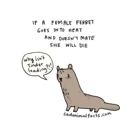 I've got some bad news about ferrets.