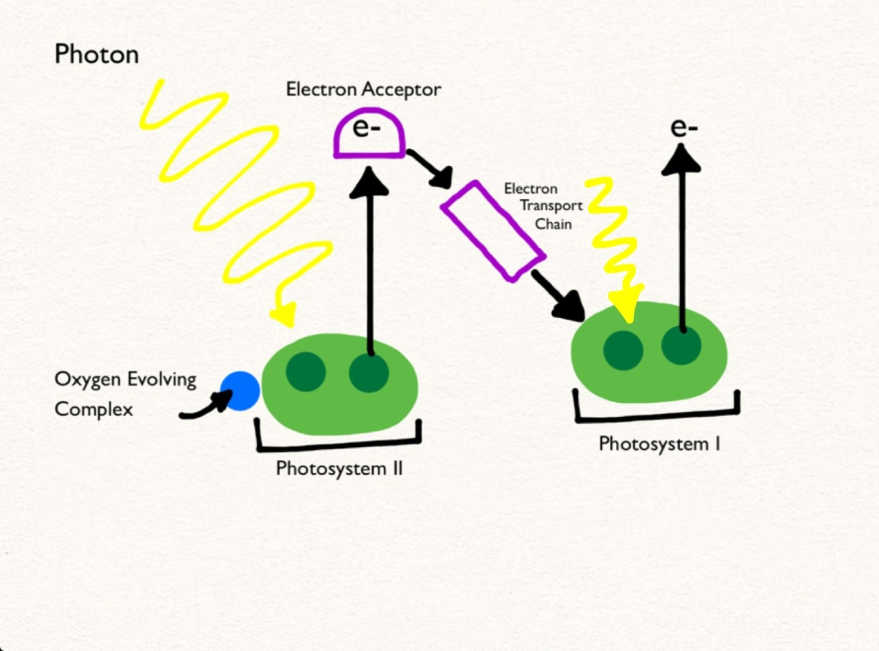 light reactions photosystem diagram wiring for 2 way switch biology a2 revision