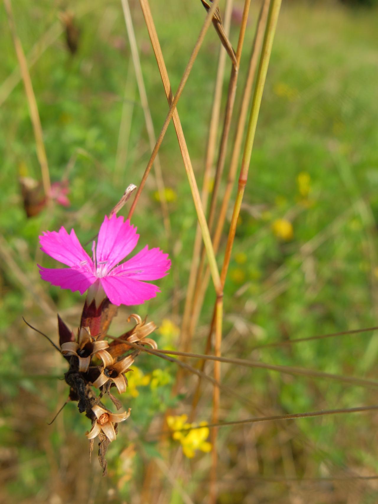 mangia minga // 'Wildkräuter: Foraging Wild Herbs' Karthäuser-Nelken - carthusian pink