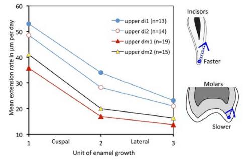 Dental fast track: Prenatal enamel growth, incisor