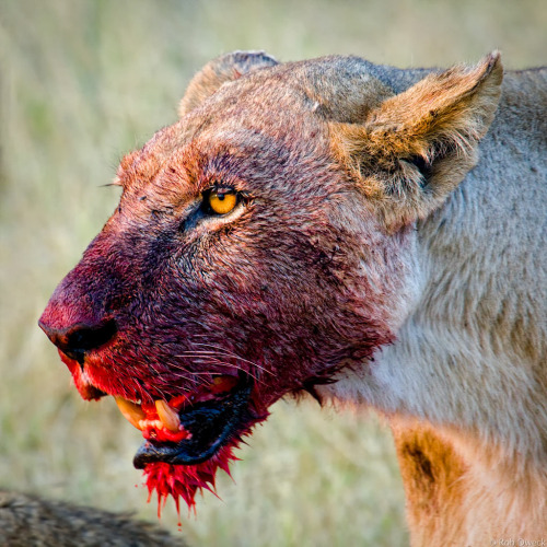 interstellargatorskin-crocs:  savingpeoplehunting-things:  doritos-maragaritos:  theramen:  wellhellotello:  fckingmajeliblood:  so-much-hilarity:  I keep having to remind myself that it's the lionesses that do the hunting and killing and get their faces soaked in blood I mean is there a more badass animal  the king of the jungle in the second it's like 'maybe if I look away she'll stop yelling at me'  I TOLD YO BITCH ASS TO PICK UP THE CUBS  Its the alpha  Fun fact:When Lions fight they try to look big and powerful to scare off the opponent. When Lionesses fight, it's to the death, And I think that pretty much sums up the difference between males and females. One tries to big itself up, one won't back down.  those three pictures in the commentslook like my parents