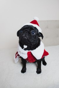 Christmas dog cute Marceline puppy pug pet pugs Boo 2015 ...