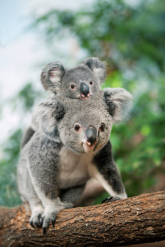 Peace Up Toes Down  theanimaleffect Koala Mother